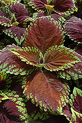 Kong Scarlet Coleus (Solenostemon scutellarioides 'Kong Scarlet') at Thies Farm & Greenhouses
