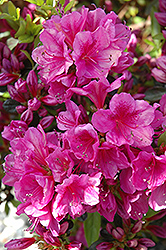 Girard's Purple Azalea (Rhododendron 'Girard's Purple') at Thies Farm & Greenhouses