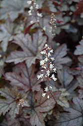 Gunsmoke Foamy Bells (Heucherella 'Gunsmoke') at Thies Farm & Greenhouses