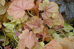 Redstone Falls Foamy Bells (Heucherella 'Redstone Falls') at Thies Farm & Greenhouses