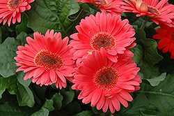 Coral Gerbera Daisy (Gerbera 'Coral') at Thies Farm & Greenhouses