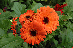 Orange Gerbera Daisy (Gerbera 'Orange') at Thies Farm & Greenhouses
