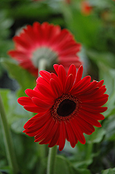 Red Gerbera Daisy (Gerbera 'Red') at Thies Farm & Greenhouses