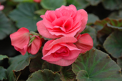 Solenia® Light Pink Begonia (Begonia 'Solenia Light Pink') at Thies Farm & Greenhouses