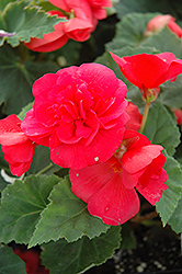 Nonstop® Rose Pink Begonia (Begonia 'Nonstop Rose Pink') at Thies Farm & Greenhouses