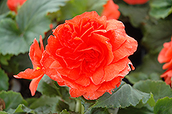 Nonstop® Salmon Begonia (Begonia 'Nonstop Salmon') at Thies Farm & Greenhouses