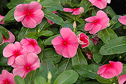 Sunstorm Rose with Eye Vinca (Catharanthus roseus 'Sunstorm Rose with Eye') at Thies Farm & Greenhouses