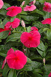 Sunstorm Red Vinca (Catharanthus roseus 'Sunstorm Red') at Thies Farm & Greenhouses