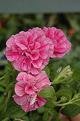 Double Wave Pink Petunia (Petunia 'Double Wave Pink') at Thies Farm & Greenhouses