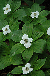 Bunchberry (Cornus canadensis) at Thies Farm & Greenhouses