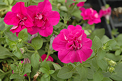Double Wave Purple Petunia (Petunia 'Double Wave Purple') at Thies Farm & Greenhouses