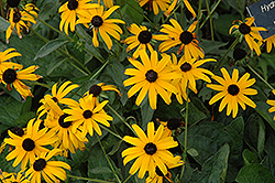 Pot Of Gold Coneflower (Rudbeckia fulgida 'Pot Of Gold') at Thies Farm & Greenhouses