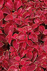 Wizard Velvet Red Coleus (Solenostemon scutellarioides 'Wizard Velvet Red') at Thies Farm & Greenhouses