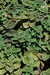 Hot And Spicy Oregano (Origanum 'Hot And Spicy') at Thies Farm & Greenhouses