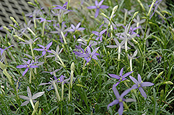 Beth's Blue Laurentia (Isotoma axillaris 'Beth's Blue') at Thies Farm & Greenhouses