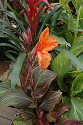 Tropicana Canna (Canna 'Tropicana') at Thies Farm & Greenhouses