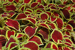 Wizard Scarlet Coleus (Solenostemon scutellarioides 'Wizard Scarlet') at Thies Farm & Greenhouses