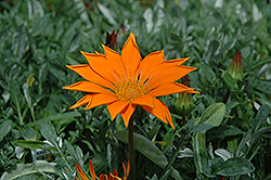 New Day Clear Orange Gazania (Gazania 'New Day Clear Orange') at Thies Farm & Greenhouses
