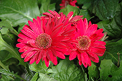 Royal Deep Rose Gerbera Daisy (Gerbera 'Royal Deep Rose') at Thies Farm & Greenhouses
