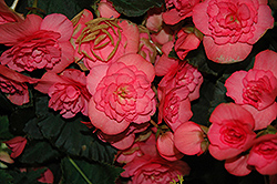 Solenia® Pink Begonia (Begonia 'Solenia Pink') at Thies Farm & Greenhouses