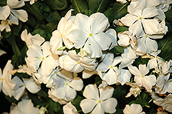 Cora® White Vinca (Catharanthus roseus 'Cora White') at Thies Farm & Greenhouses