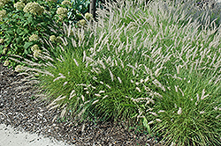 Oriental Fountain Grass (Pennisetum orientale) at Thies Farm & Greenhouses