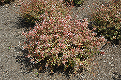Sunshine Daydream Abelia (Abelia x grandiflora 'Abelops') at Thies Farm & Greenhouses