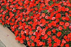 SunPatiens® Compact Electric Orange New Guinea Impatiens (Impatiens 'SunPatiens Compact Electric Orange') at Thies Farm & Greenhouses