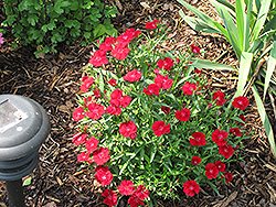Telstar Crimson Pinks (Dianthus 'Telstar Crimson') at Thies Farm & Greenhouses