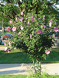 Aphrodite Rose of Sharon (Hibiscus syriacus 'Aphrodite') at Thies Farm & Greenhouses