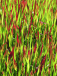 Red Baron Japanese Blood Grass (Imperata cylindrica 'Red Baron') at Thies Farm & Greenhouses