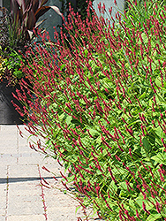 Fire Tail Fleeceflower (Persicaria amplexicaulis 'Fire Tail') at Thies Farm & Greenhouses