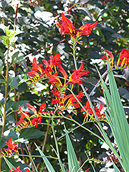 Lucifer Crocosmia (Crocosmia 'Lucifer') at Thies Farm & Greenhouses