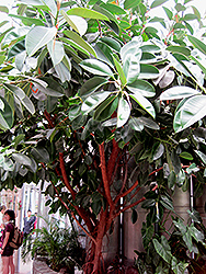 Rubber Tree (Ficus elastica) at Thies Farm & Greenhouses