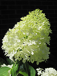 Limelight Hydrangea (Hydrangea paniculata 'Limelight') at Thies Farm & Greenhouses