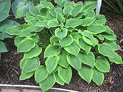 Golden Tiara Hosta (Hosta 'Golden Tiara') at Thies Farm & Greenhouses