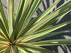 Sparkler Grass Palm (Cordyline australis 'Sparkler') at Thies Farm & Greenhouses