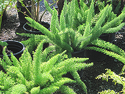 Myers Foxtail Fern (Asparagus densiflorus 'Myers') at Thies Farm & Greenhouses