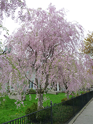 Weeping Higan Cherry (Prunus subhirtella 'Pendula') at Thies Farm & Greenhouses