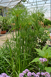Papyrus (Cyperus papyrus) at Thies Farm & Greenhouses