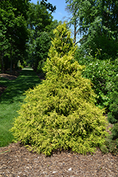 Golden Mop Falsecypress (Chamaecyparis pisifera 'Golden Mop') at Thies Farm & Greenhouses