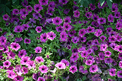 Supertunia® Picasso In Purple® Petunia (Petunia 'Supertunia Picasso In Purple') at Thies Farm & Greenhouses
