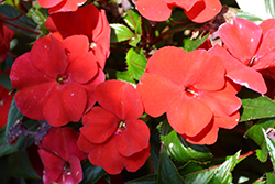 SunPatiens Compact Fire Red New Guinea Impatiens (Impatiens 'SAMKIMP039') at Thies Farm & Greenhouses