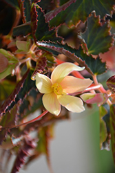 Bossa Nova® Yellow Begonia (Begonia boliviensis 'Bossa Nova Yellow') at Thies Farm & Greenhouses