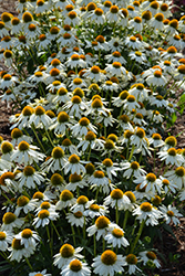 PowWow White Coneflower (Echinacea purpurea 'PowWow White') at Thies Farm & Greenhouses