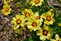 UpTick™ Cream and Red Tickseed (Coreopsis 'Balupteamed') at Thies Farm & Greenhouses