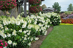 Fire Light® Hydrangea (Hydrangea paniculata 'SMHPFL') at Thies Farm & Greenhouses