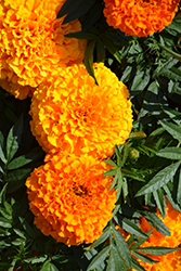 Taishan Orange Marigold (Tagetes erecta 'Taishan Orange') at Thies Farm & Greenhouses