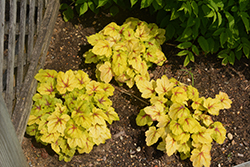 Catching Fire Foamy Bells (Heucherella 'Catching Fire') at Thies Farm & Greenhouses