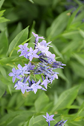 Blue Ice Star Flower (Amsonia tabernaemontana 'Blue Ice') at Thies Farm & Greenhouses